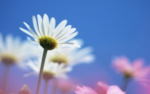 1440x900_Blue_Sky_Flowers_HM050_350A
