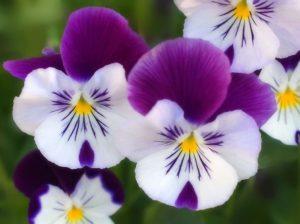 purpleWhiteyellow flowers guidebook